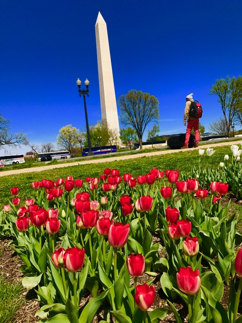 Tulips and Wash Monument