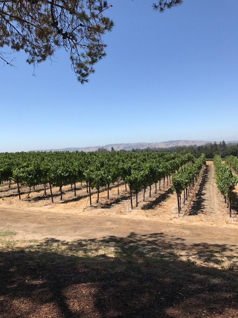 Grape fields